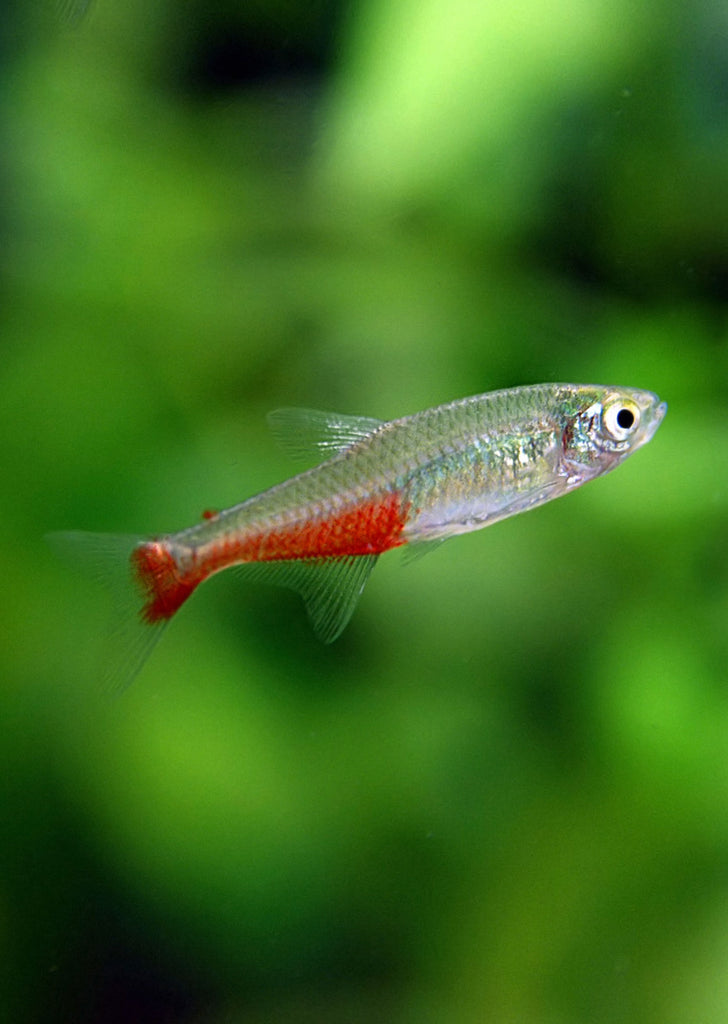 Red Belly Tetra tropical fish from Discus.ae products online in Dubai and Abu Dhabi UAE