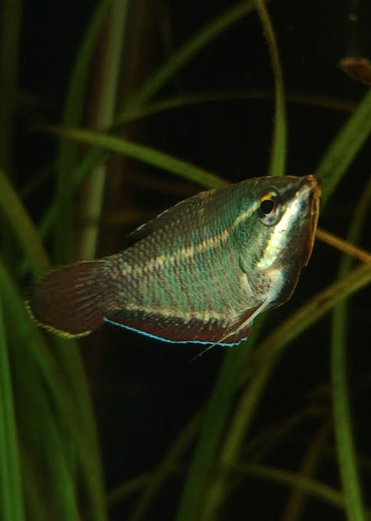 Vaillanti Samurai Gourami tropical fish from Discus.ae products online in Dubai and Abu Dhabi UAE