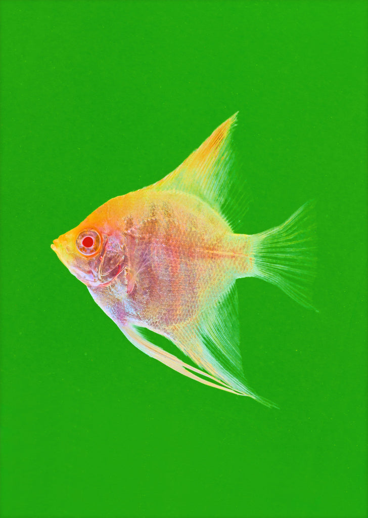 Åpex - Albino Gold Angelfish from Åpex products online in Dubai and Abu Dhabi UAE