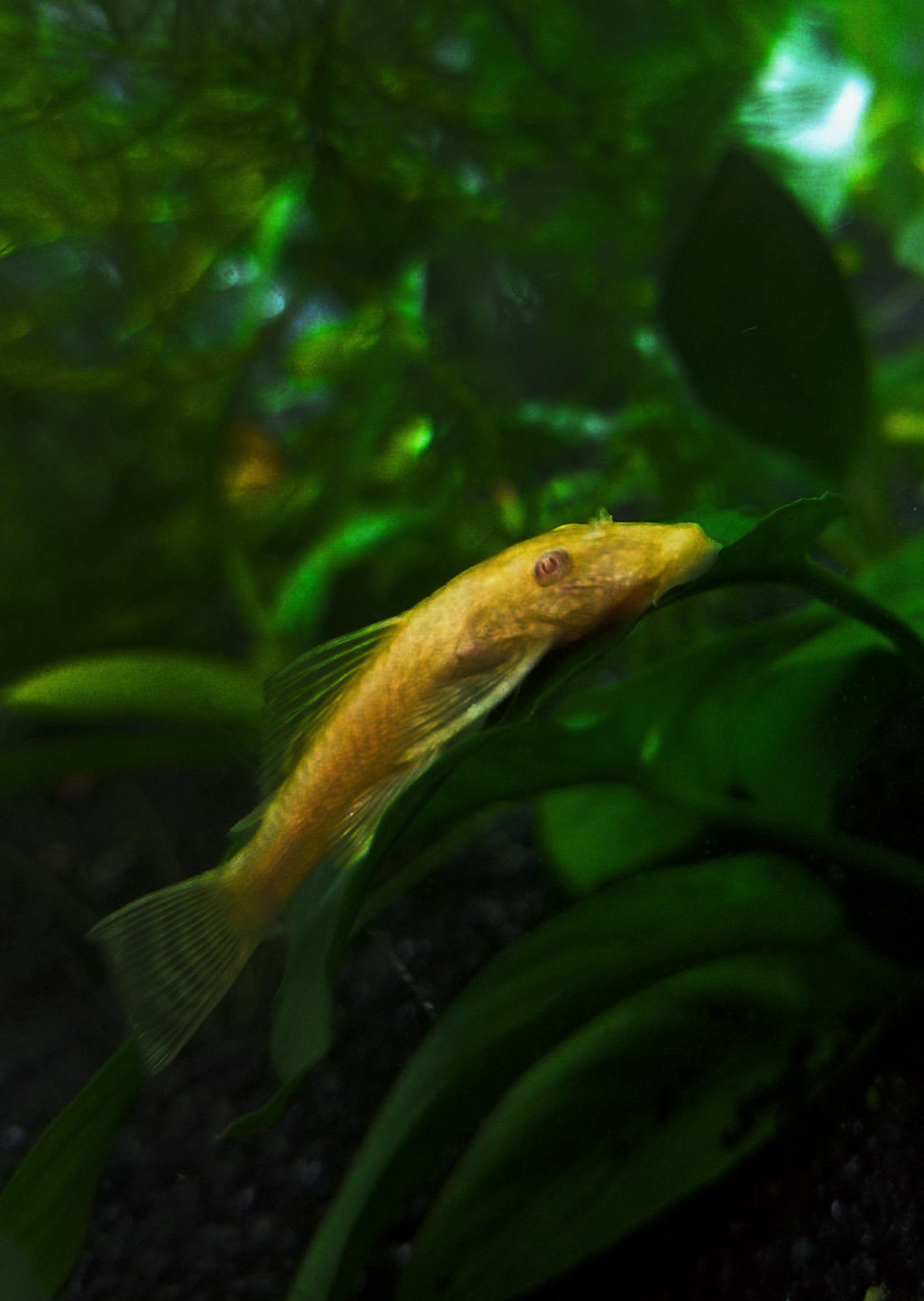 Ancistrus Albino sp. (L-144)