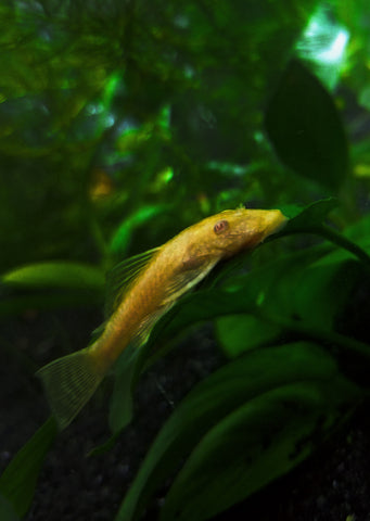 Ancistrus Golden Albino