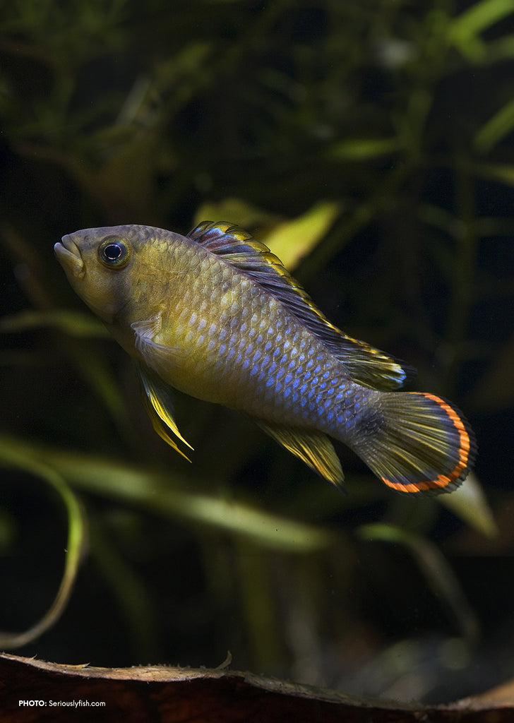 Apistogramma nijsseni tropical fish from Discus.ae products online in Dubai and Abu Dhabi UAE