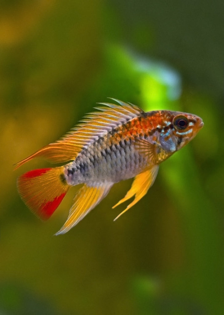 Apistogramma viejita tropical fish from Discus.ae products online in Dubai and Abu Dhabi UAE