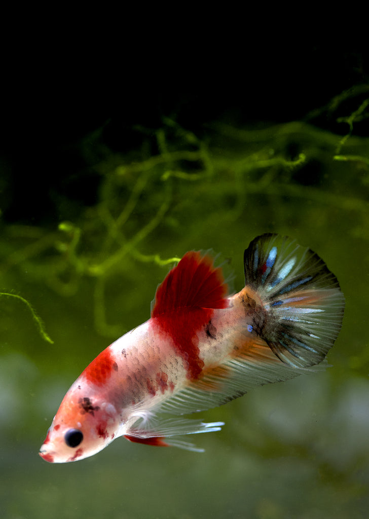 BETTA Koi Plakat tropical fish from Discus.ae products online in Dubai and Abu Dhabi UAE