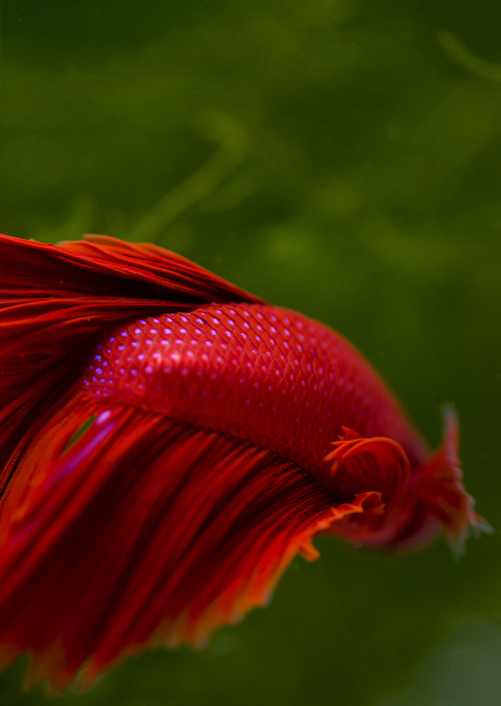 BETTA Red Halfmoon tropical fish from Discus.ae products online in Dubai and Abu Dhabi UAE