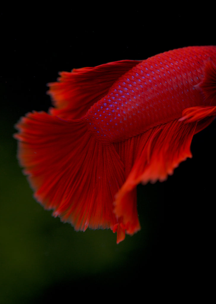 BETTA Magenta Red Halfmoon