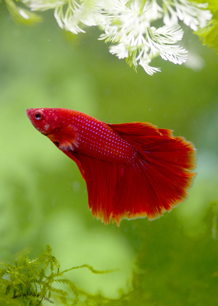 BETTA Red Halfmoon