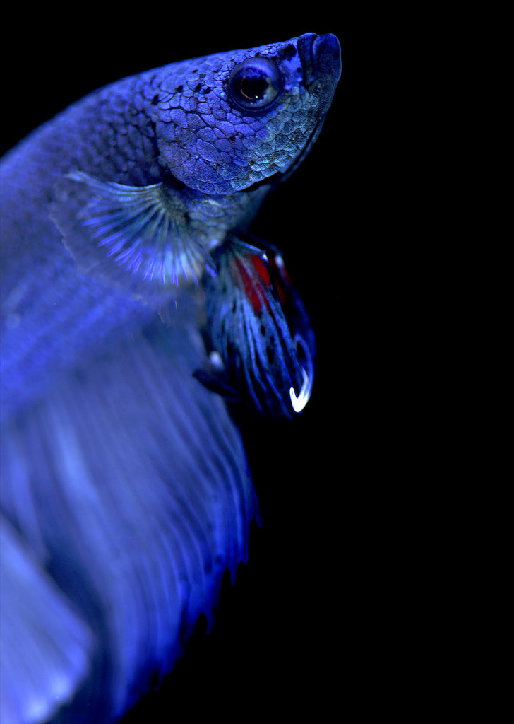 BETTA Blue Halfmoon tropical fish from Discus.ae products online in Dubai and Abu Dhabi UAE