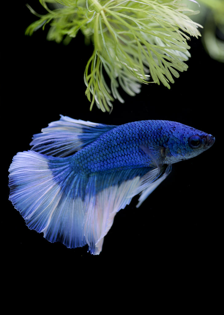 BETTA Blue Butterfly Halfmoon tropical fish from Discus.ae products online in Dubai and Abu Dhabi UAE