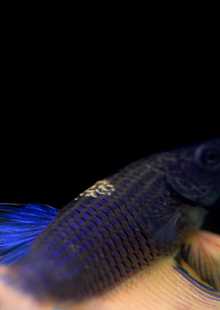 BETTA Mustard Butterfly Halfmoon tropical fish from Discus.ae products online in Dubai and Abu Dhabi UAE