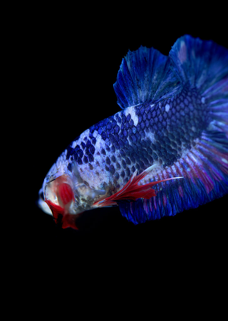BETTA Blue Koi Plakat