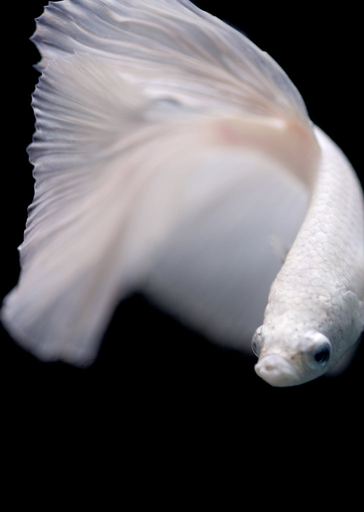BETTA White Halfmoon tropical fish from Discus.ae products online in Dubai and Abu Dhabi UAE