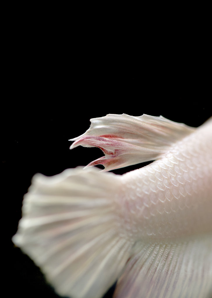 BETTA White Plakat tropical fish from Discus.ae products online in Dubai and Abu Dhabi UAE