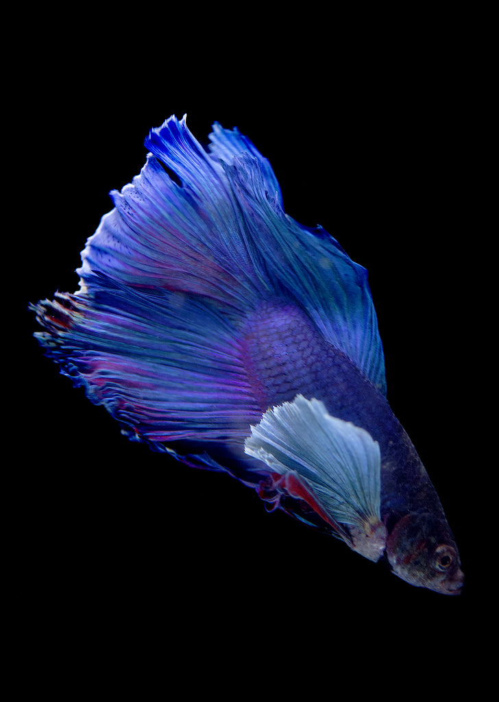 BETTA Dumbo Ear Halfmoon tropical fish from Discus.ae products online in Dubai and Abu Dhabi UAE