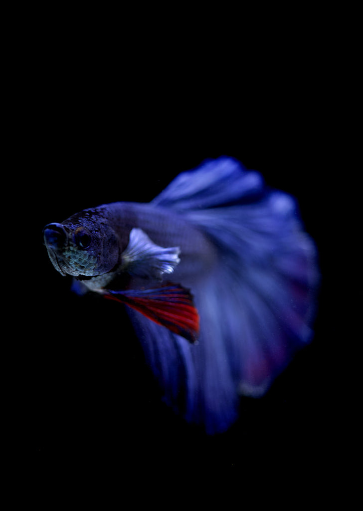 BETTA Blue Halfmoon