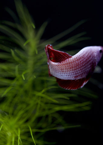 BETTA Red Copper Round Tail