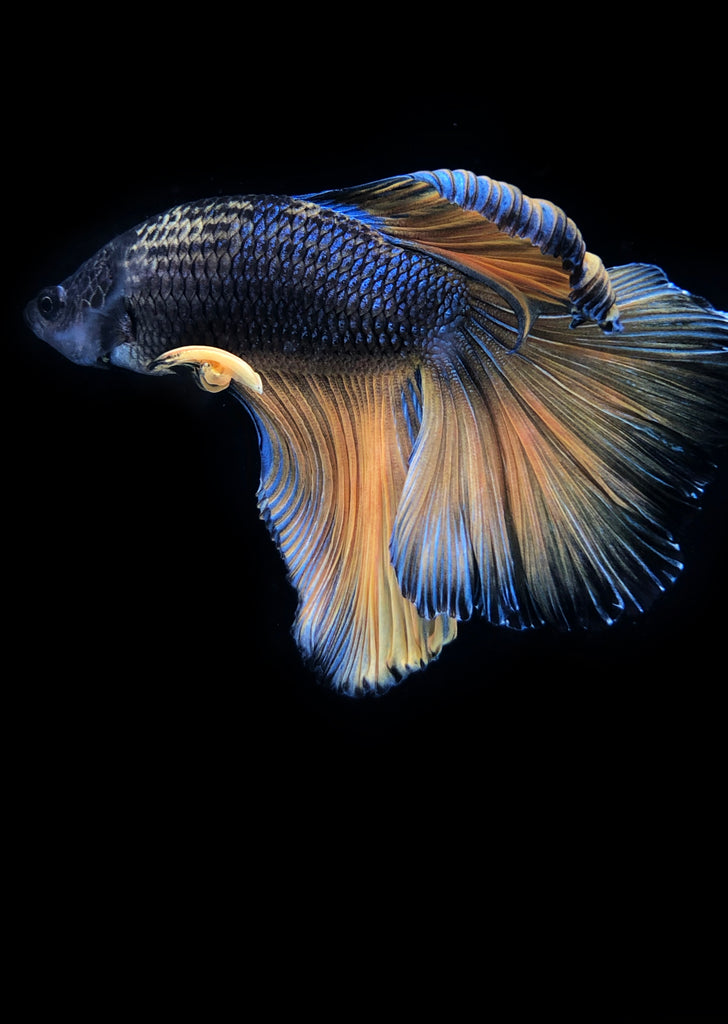 BETTA Halfmoon Mustard tropical fish from Discus.ae products online in Dubai and Abu Dhabi UAE