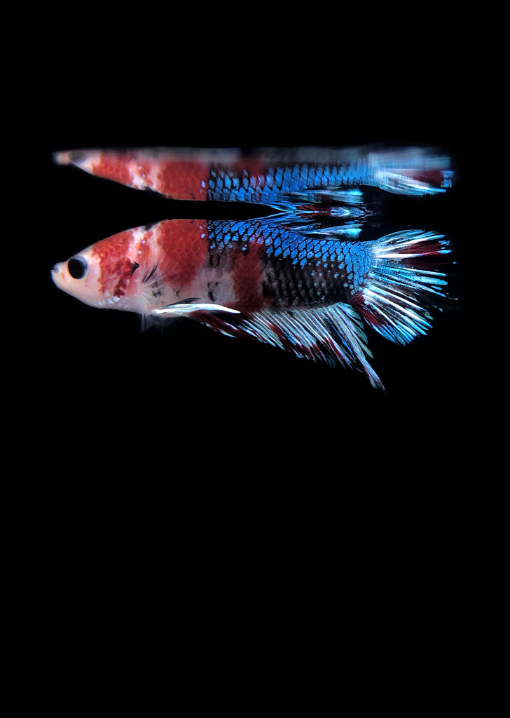 BETTA Koi Galaxy Plakat tropical fish from Discus.ae products online in Dubai and Abu Dhabi UAE