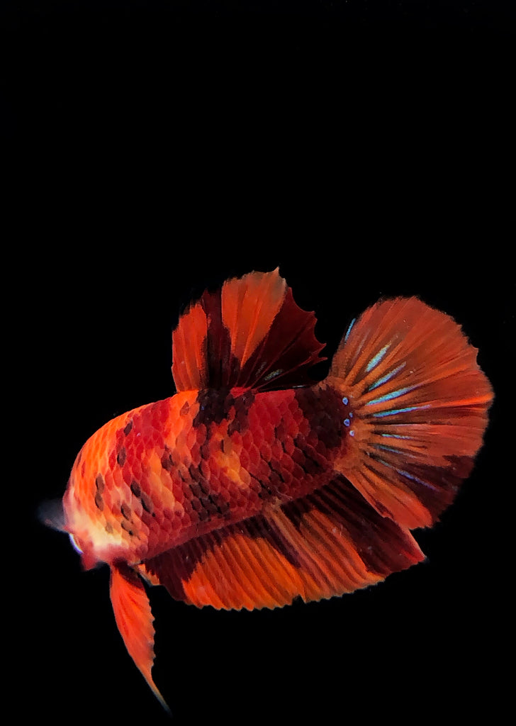 BETTA Koi Nemo Plakat tropical fish from Discus.ae products online in Dubai and Abu Dhabi UAE