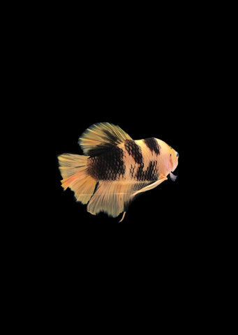 BETTA Koi 'Giant' Yellow