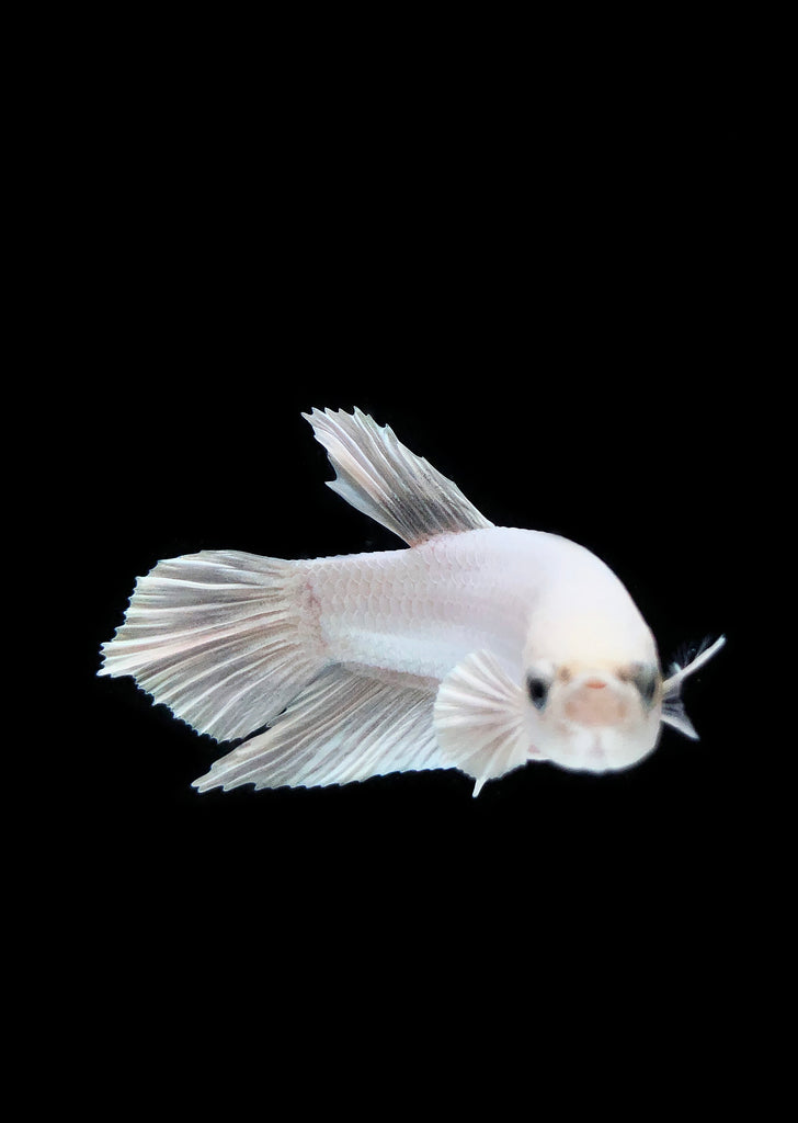 BETTA Plakat White tropical fish from Discus.ae products online in Dubai and Abu Dhabi UAE