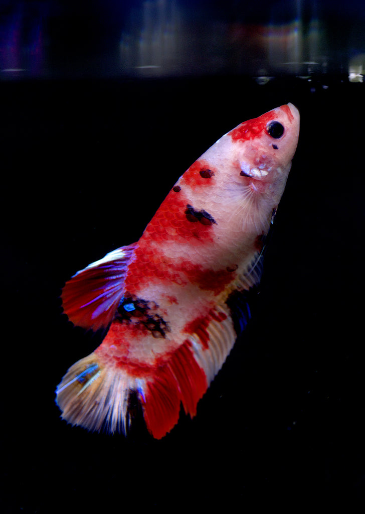 BETTA Koi Giant Female tropical fish from Discus.ae products online in Dubai and Abu Dhabi UAE