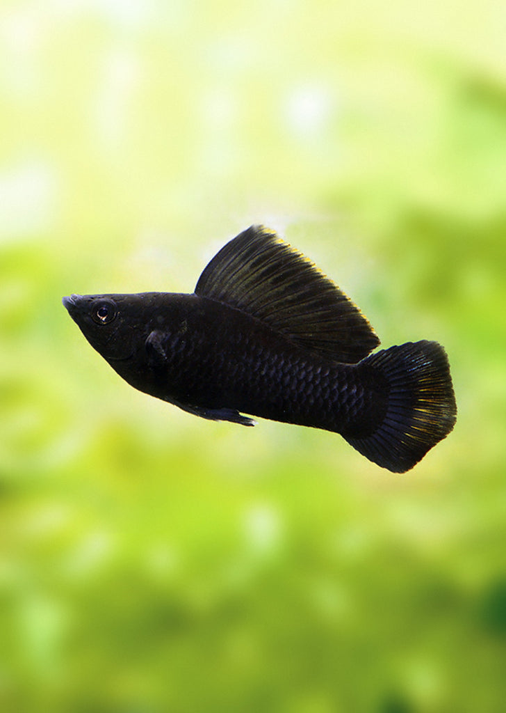 Sailfin Black Molly (Pair) tropical fish from Discus.ae products online in Dubai and Abu Dhabi UAE