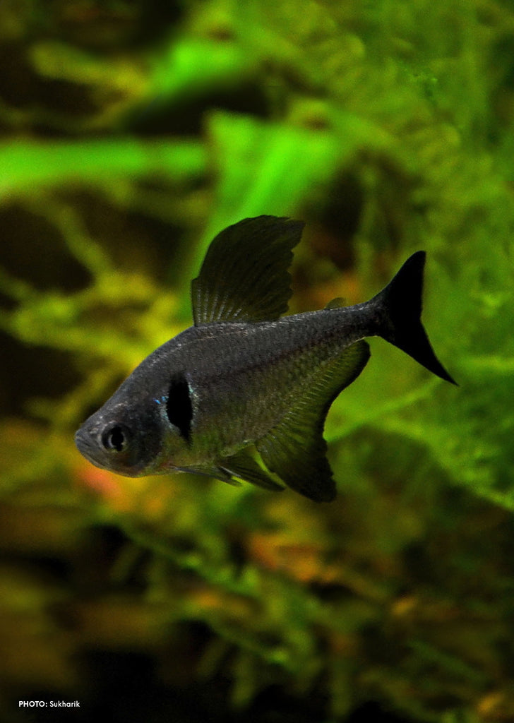Black Phantom Tetra tropical fish from Discus.ae products online in Dubai and Abu Dhabi UAE