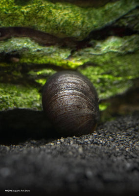Black Helmet Snail tropical fish from Discus.ae products online in Dubai and Abu Dhabi UAE