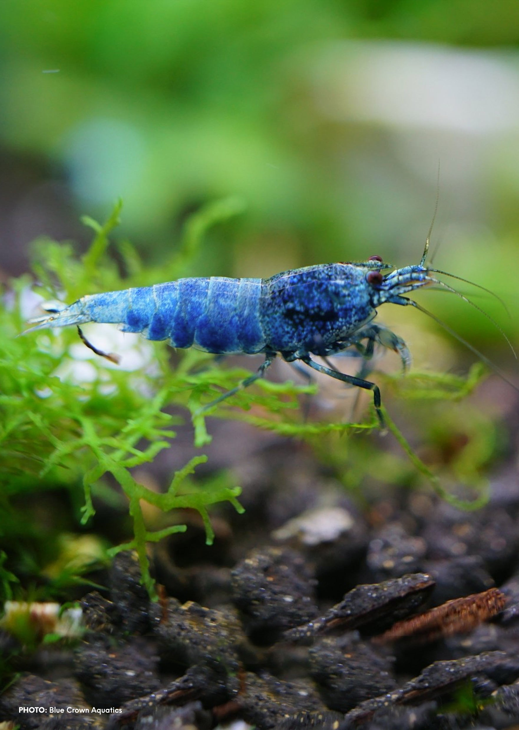 Blue Bolt Shrimp