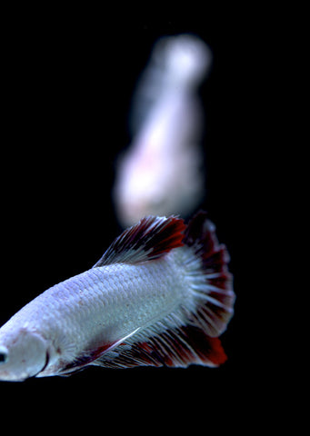 BETTA Red Dragon Plakat