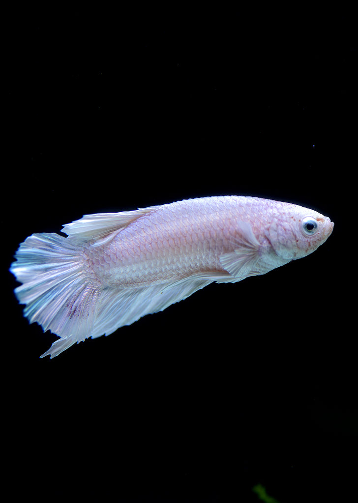 BETTA Platinum Plakat