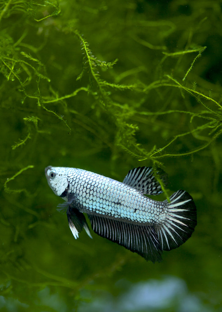 BETTA Black Copper Plakat tropical fish from Discus.ae products online in Dubai and Abu Dhabi UAE