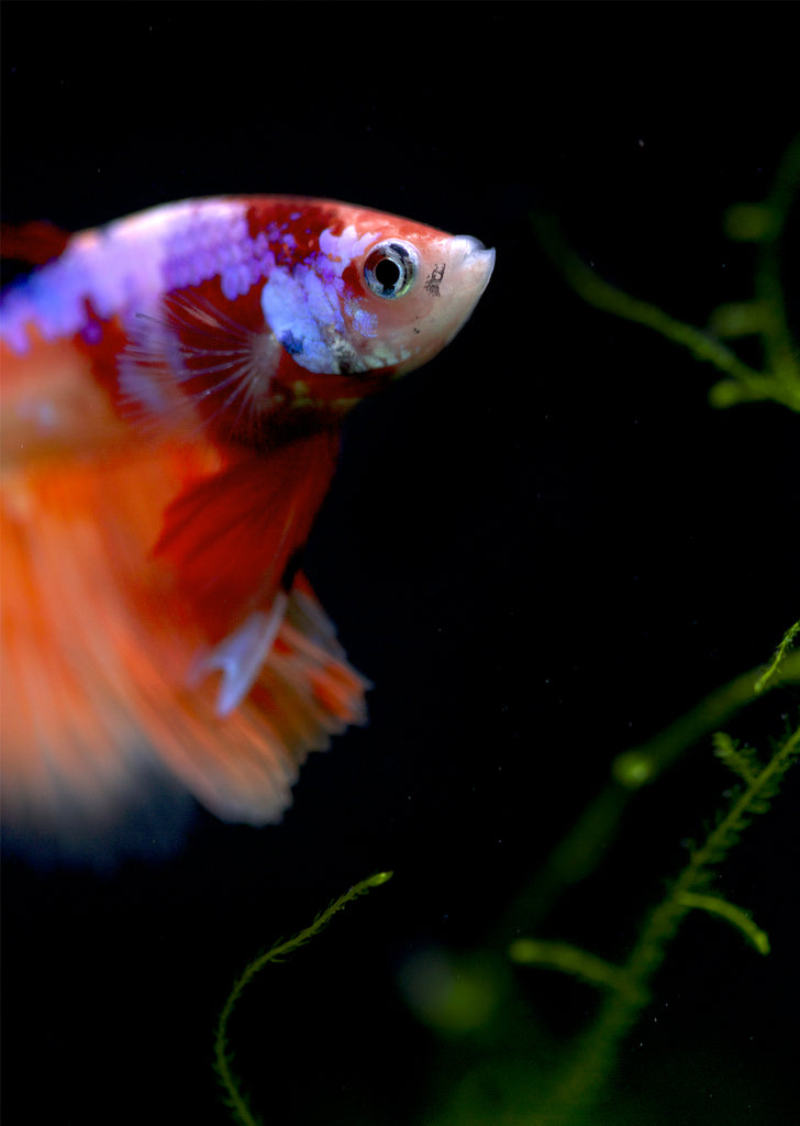 BETTA Galaxy Koi Halfmoon tropical fish from Discus.ae products online in Dubai and Abu Dhabi UAE