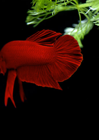 BETTA Red Plakat