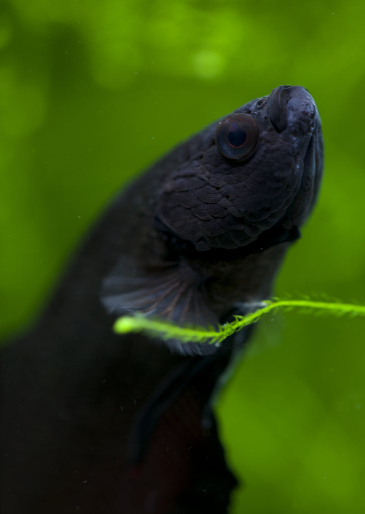 BETTA Black Plakat tropical fish from Discus.ae products online in Dubai and Abu Dhabi UAE