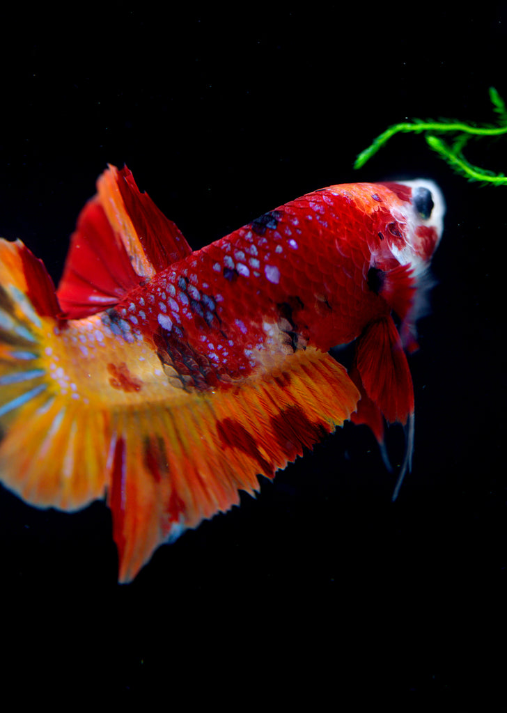 BETTA Nemo Koi Plakat tropical fish from Discus.ae products online in Dubai and Abu Dhabi UAE