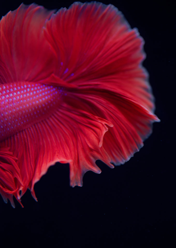 BETTA Rose Halfmoon tropical fish from Discus.ae products online in Dubai and Abu Dhabi UAE