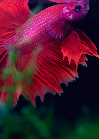 BETTA Rose Halfmoon