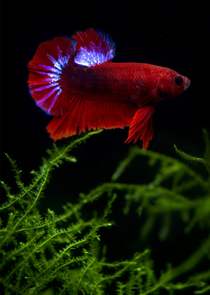 BETTA Red Hellboy Plakat