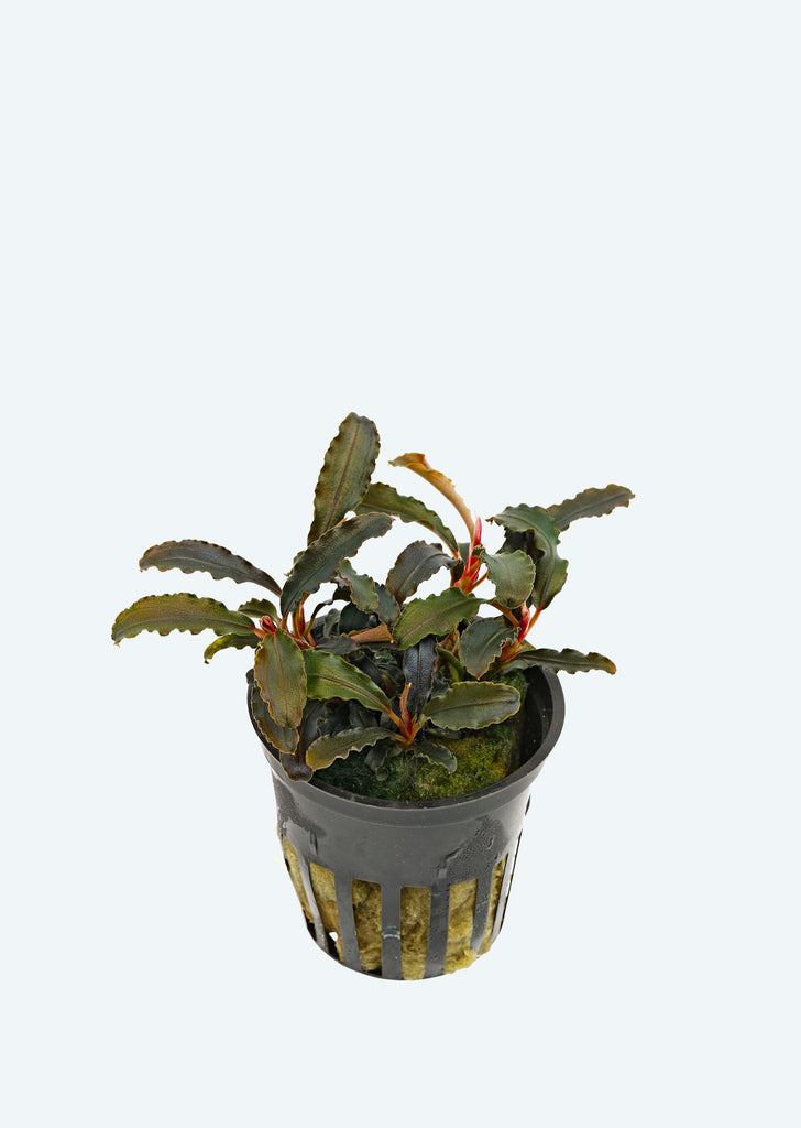 Bucephalandra 'Kedagang' plant from Tropica products online in Dubai and Abu Dhabi UAE