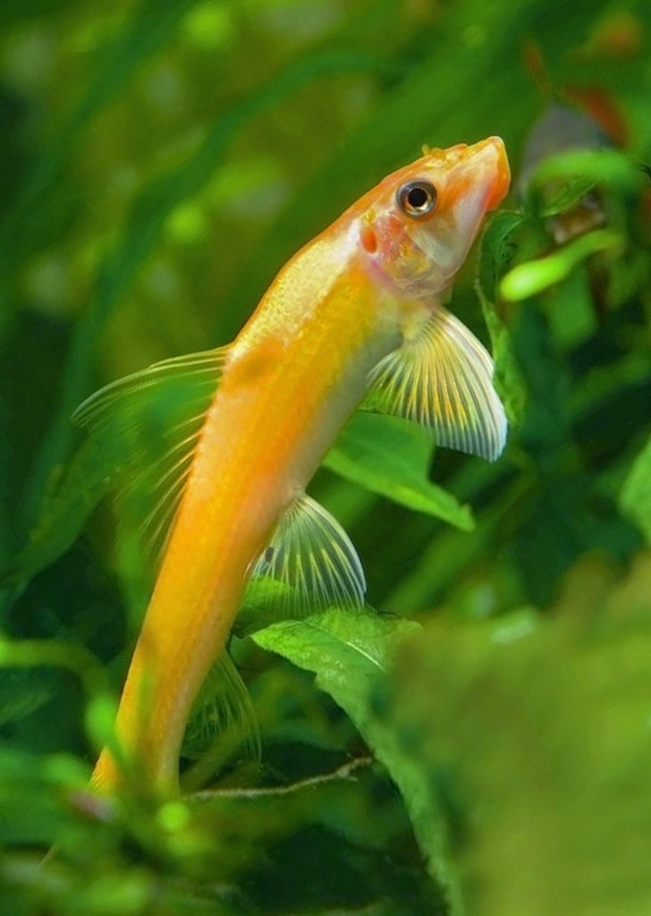 Golden Chinese Algae Eater tropical fish from Discus.ae products online in Dubai and Abu Dhabi UAE
