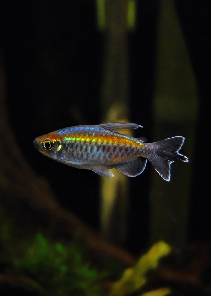 Congo Tetra tropical fish from Discus.ae products online in Dubai and Abu Dhabi UAE