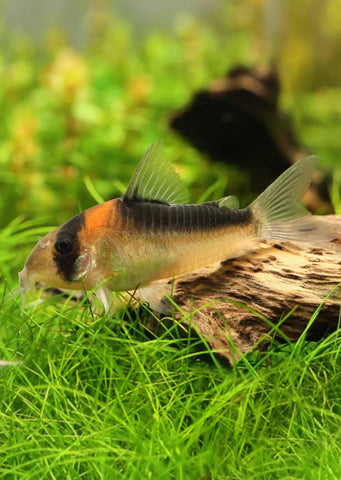 Corydoras Adolfoi tropical fish from Discus.ae products online in Dubai and Abu Dhabi UAE