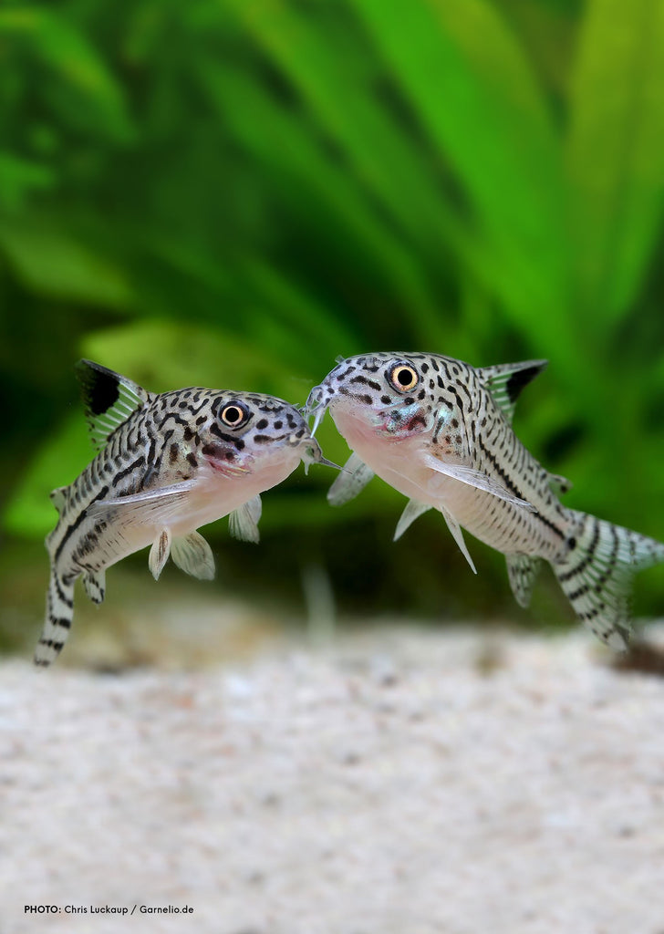 Corydoras Julii tropical fish from Discus.ae products online in Dubai and Abu Dhabi UAE