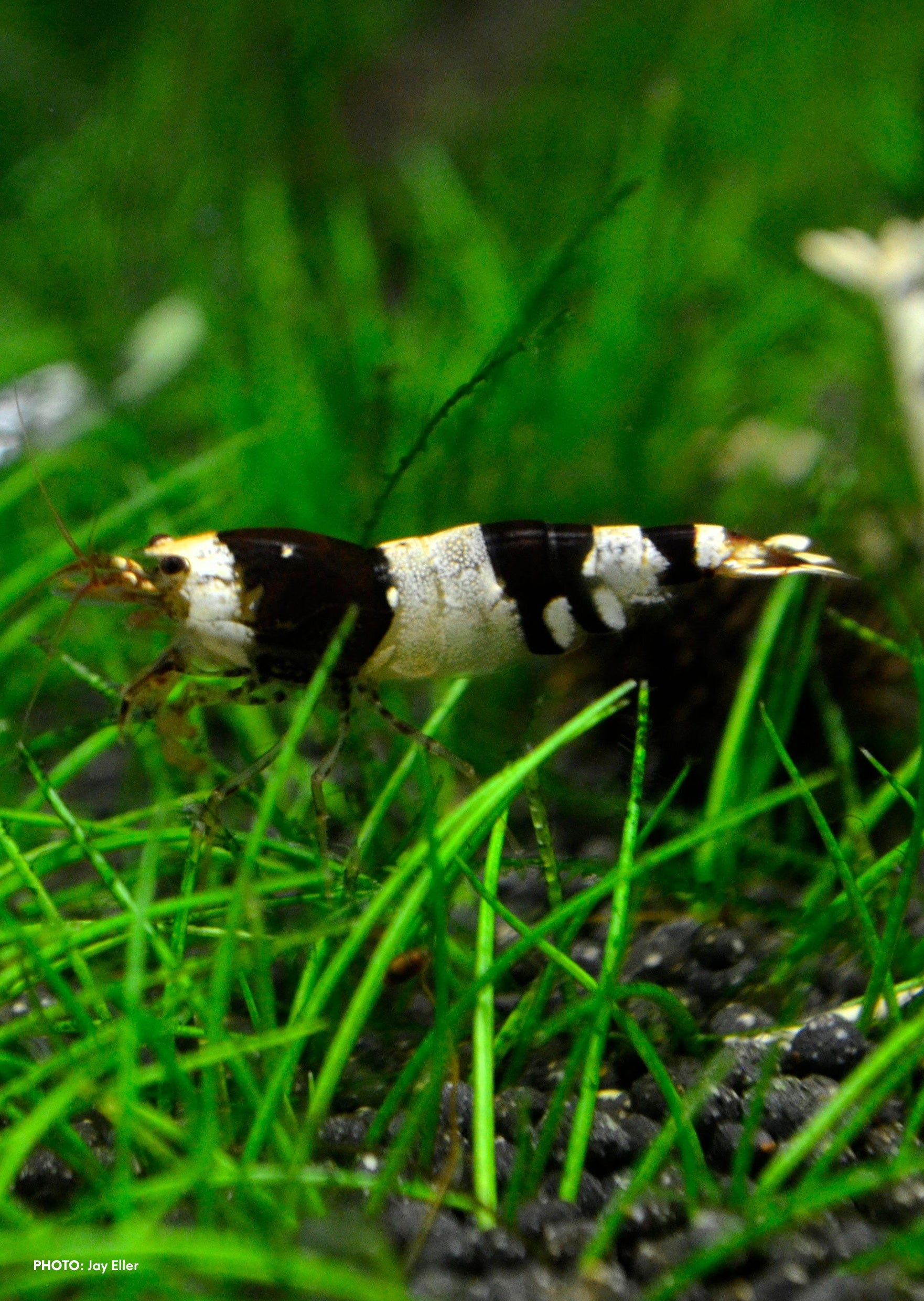 Crystal Black Shrimp (A Grade)