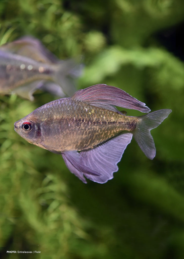 Diamond Tetra tropical fish from Discus.ae products online in Dubai and Abu Dhabi UAE