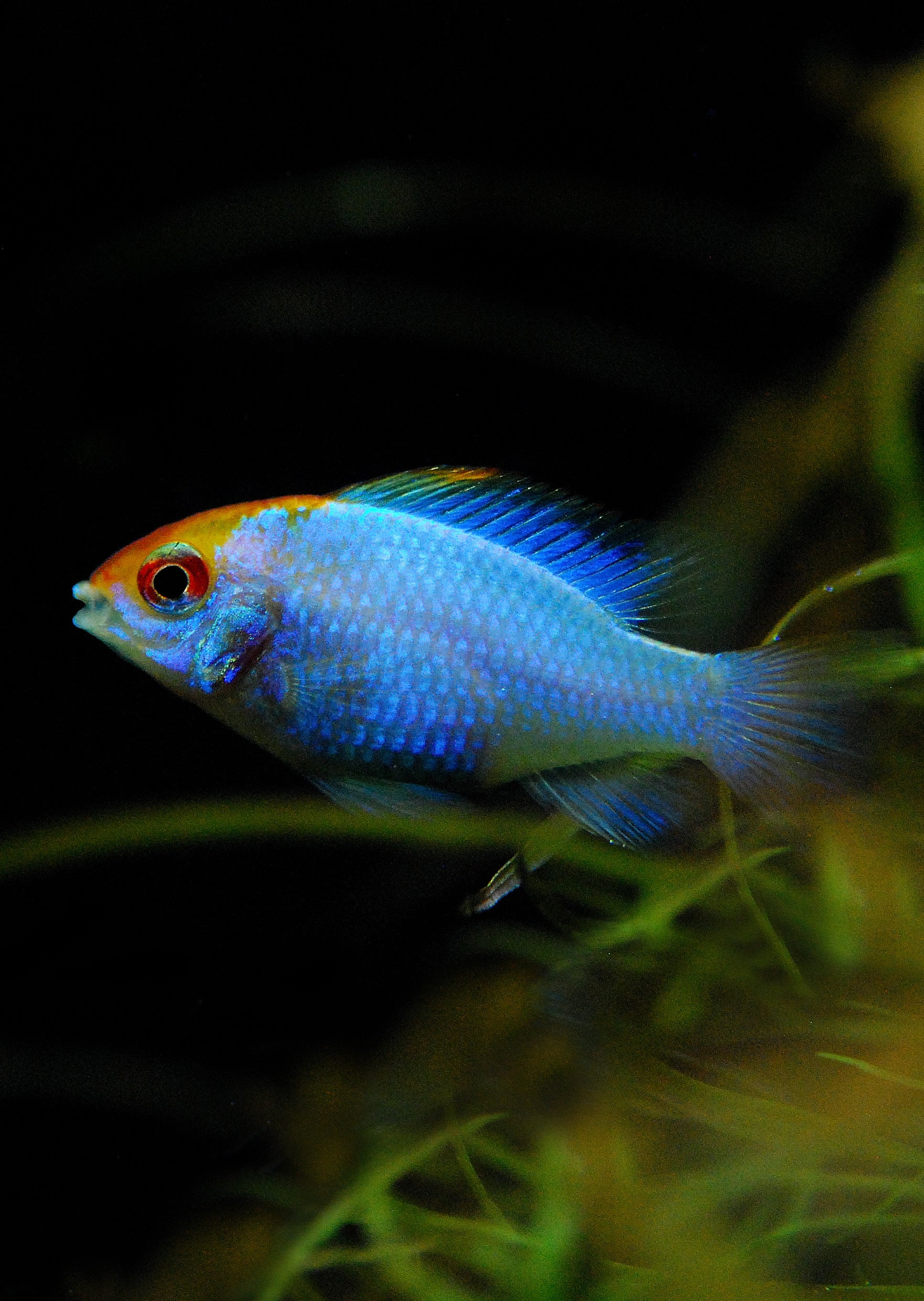Electric Blue Ramirezi