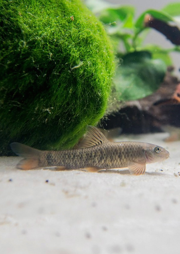 Garra Rufa (Doctor Fish) tropical fish from Discus.ae products online in Dubai and Abu Dhabi UAE