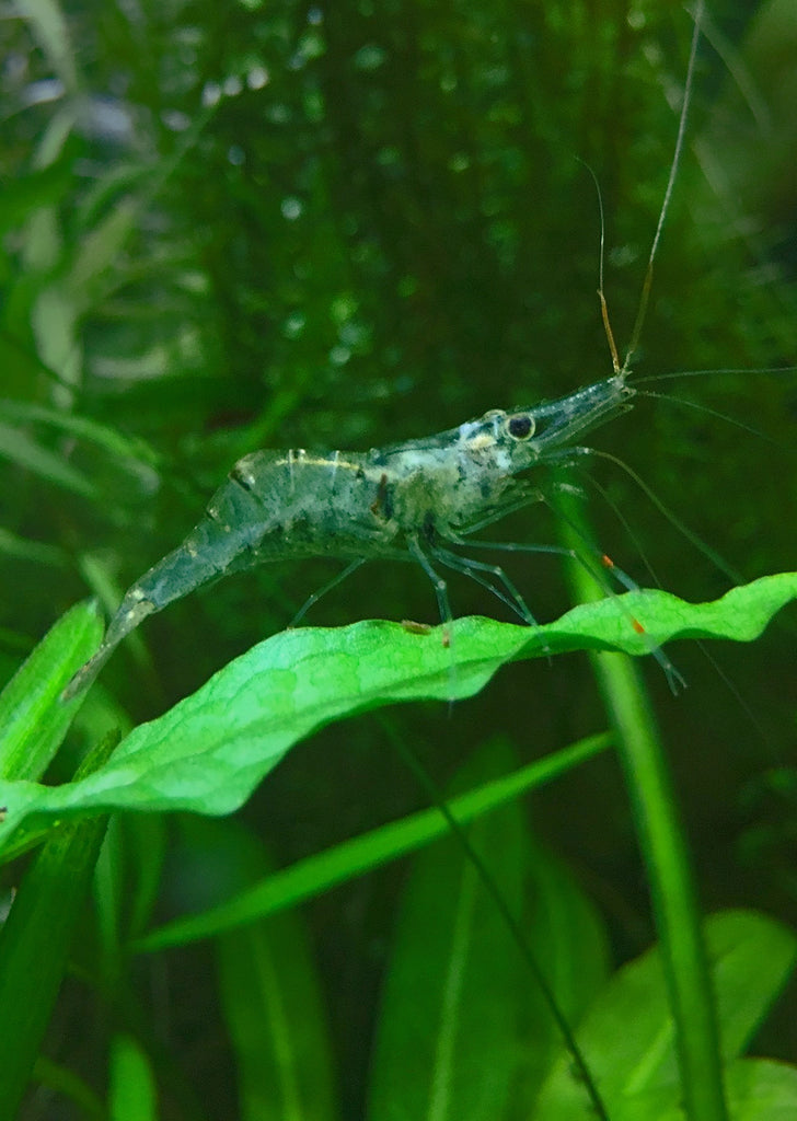 Ghost Shrimp tropical fish from Discus.ae products online in Dubai and Abu Dhabi UAE